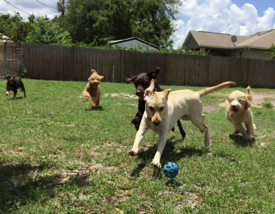 Five dogs playing outside in the yard with a blue ball.