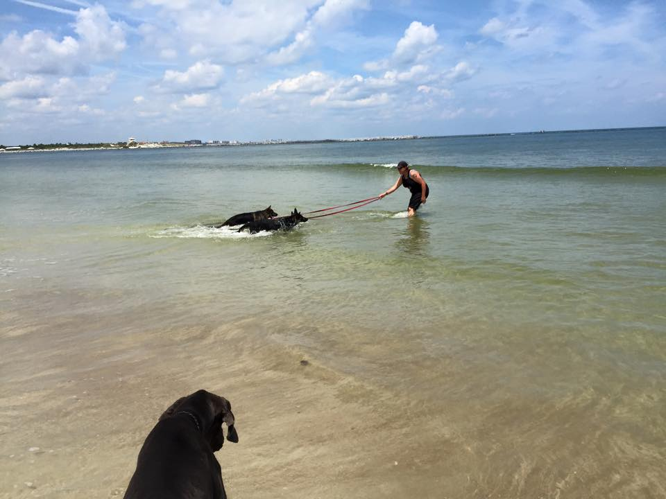 Two dogs on leashes walk into the ocean water to follow their trainer.