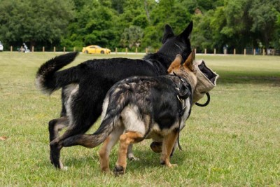 A picture of a German Shepherd dog named Linux, in a field with her friend.