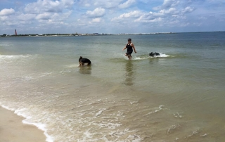 Two German Shepherds doing off leash training in the water with professional dog trainer, Sharon Burch.