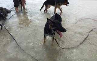 Two German Shepherds pant while standing in the shallow water by the beach.