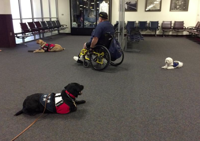 Three service dogs sit next to a man in a wheelchair in an airport lobby.