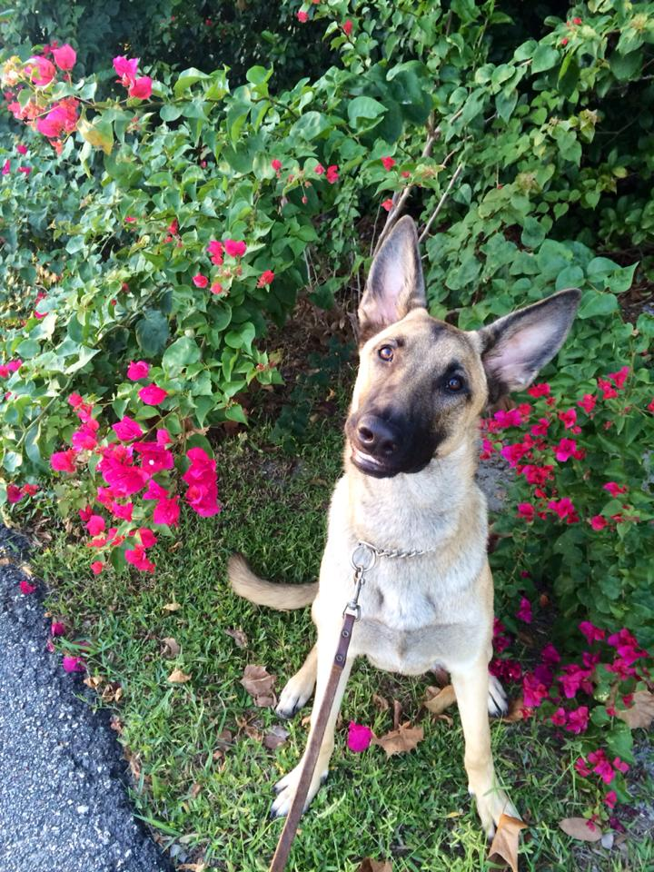 A German Shepherd sits calmly by pink flowers. She looks up inquisitively.