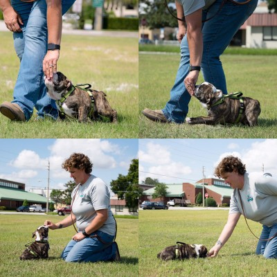 Professional dog trainer Sharon Burch teaching one of her Cadets, a bulldog puppy.