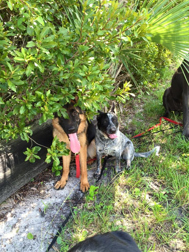 Two panting dogs sit outside underneath a tree. Both have leashes.