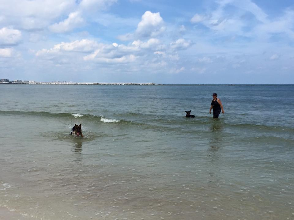 Two German Shepherds swim in the ocean water off their leashes while professional dog trainer Sharon Burch keeps an eye on them.