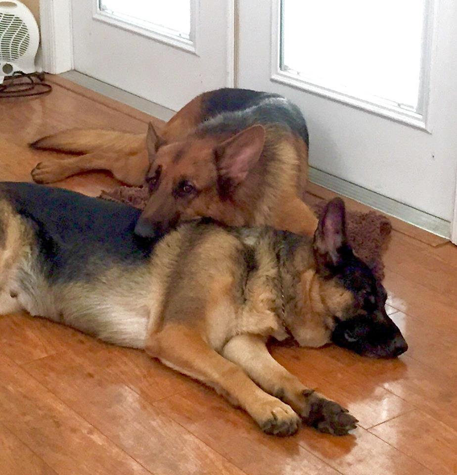 Two German Shepherds cuddle by a door in the Academy.