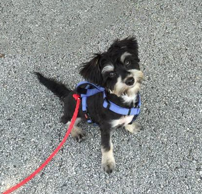 A black puppy wearing a blue harness sits on the sidewalk, looking up eagerly.