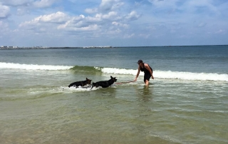 Two German Shepherds walk through the water to their dog trainer.