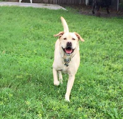 A large yellow dog named Brady runs through the green grass outside.