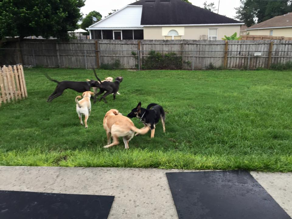 A group of six big dogs playing outside in the grass behind our Academy.