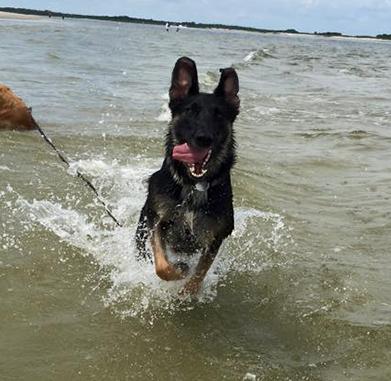 A German Shepherd named Jetta runs through the water at the beach.