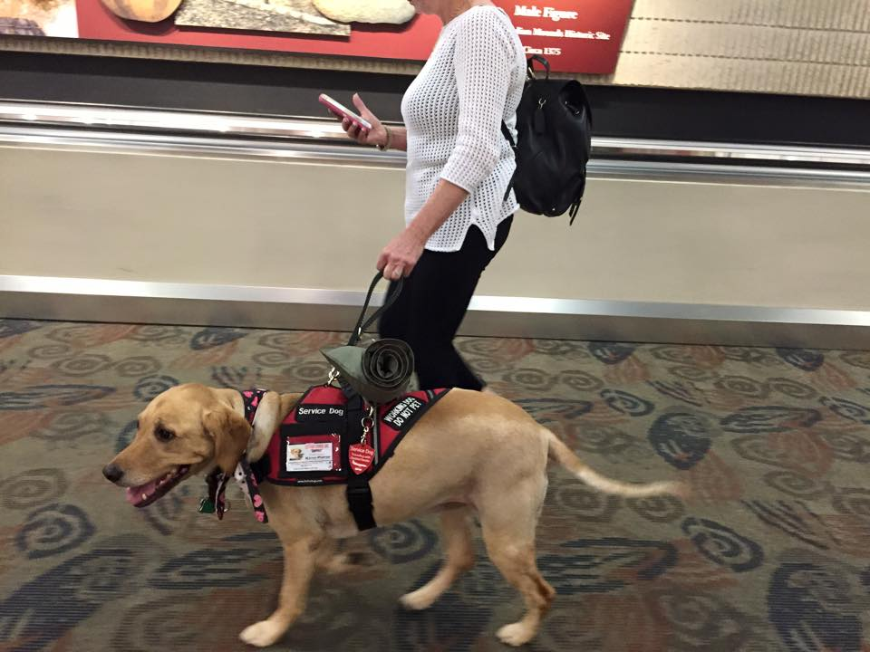 A yellow lab, one of our Service Animal Academy Cadets, showing off at the airport as a trained service dog.
