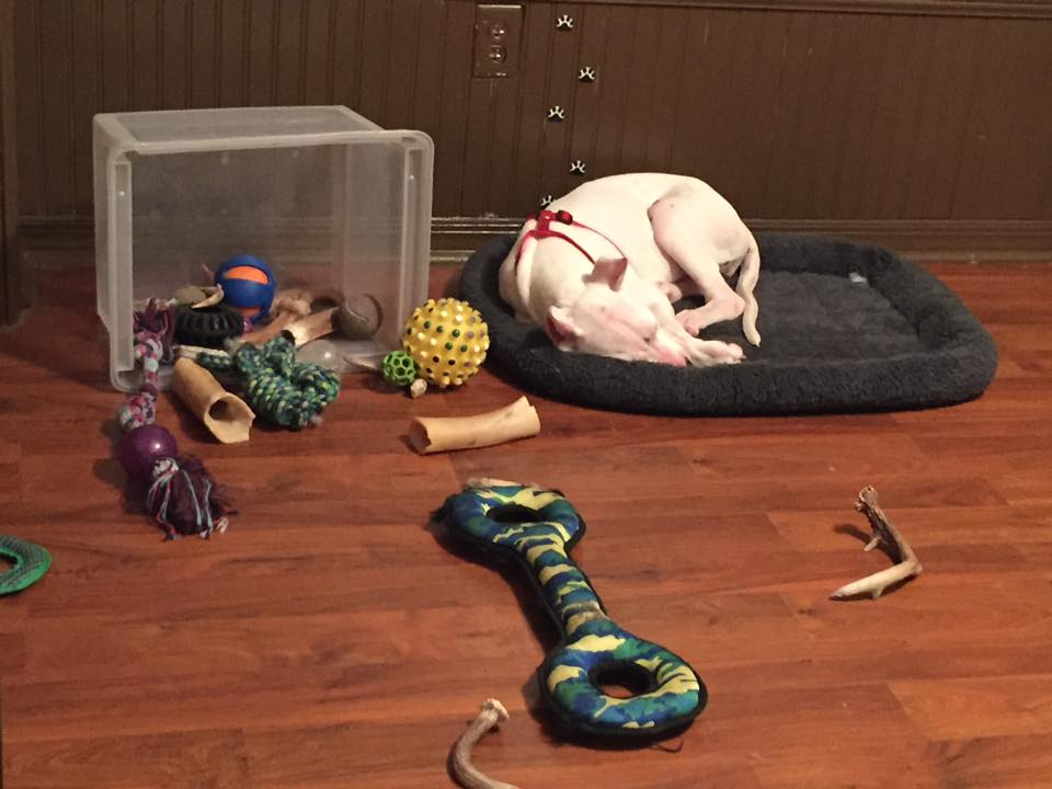 A white dog sleeps on a bed next to an overturned box of toys and treats.