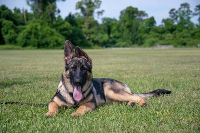 A picture of a German Shepherd dog named Linux, sitting in a field.