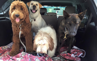 A group of dogs sits in the back of a car, ready for a trip to the beach.