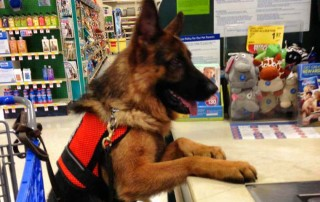A service dog standing by the register of a store.