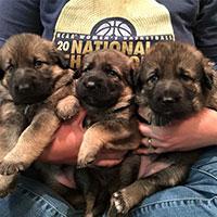 Three German Shepherd puppies being held in a trainer's lap.