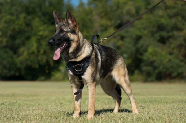 Linux, a German Shepherd, standing in a field.